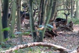 Epping Forest is home to wild fallow and muntjac deer.